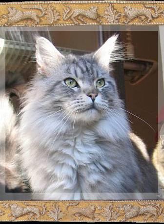maine coon katzen kaufen